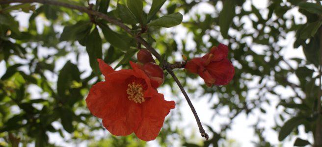 Granatapfelblüte in Sizilien
