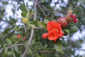 Granatapfelblüten