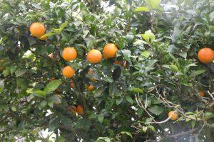 Orangen auf Sizilien